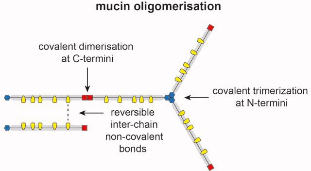 Scientific illustration of mucin oligomerisation