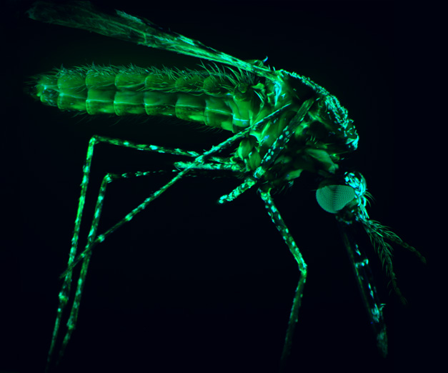 Microscopy view of a mosquito